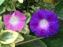 Två morgon Glory Flowers med regndroppar i nedgången Arkivfoto