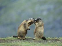 Två murmeldjur Royaltyfri Foto