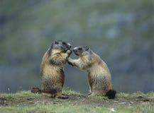 Två murmeldjur Arkivbilder
