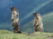 Två murmeldjur Arkivfoto