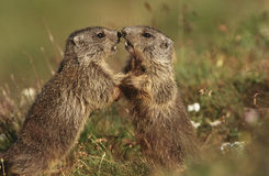 Två murmeldjur på äng Fotografering för Bildbyråer