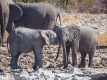 Två mycket unga afrikanska elefanter som påverkar varandra och kelar huvudet - - head, den Etosha nationalparken, Namibia Royaltyfri Fotografi