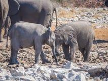 Två mycket unga afrikanska elefanter som påverkar varandra och kelar huvudet - - head, den Etosha nationalparken, Namibia Arkivbild