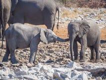 Två mycket unga afrikanska elefanter som påverkar varandra och kelar huvudet - - head, den Etosha nationalparken, Namibia Royaltyfria Foton