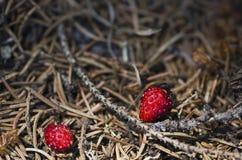 Två myror och två lösa jordgubbar Arkivbilder