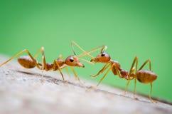 Två myror som tillsammans meddelar och arbetar Arkivbilder