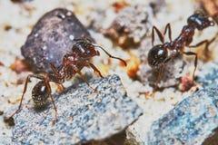 Två myror utanför i trädgården Arkivfoto