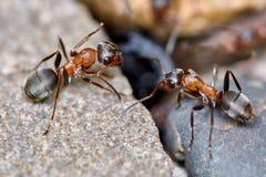Två myror utanför i trädgården Arkivfoton