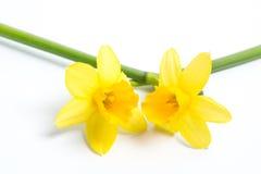 Två nätt gula påskliljar Royaltyfria Bilder