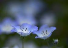Två nemophilas Royaltyfri Fotografi