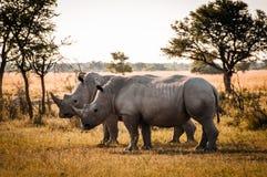 Två noshörningar Arkivbild