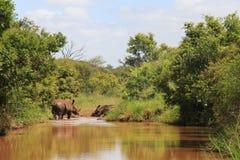 Två noshörningar i ett damm Arkivbilder