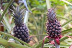 Två nya växande ananas Arkivbilder
