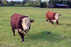 Två nyfikna Hereford tjurar på äng royaltyfria bilder