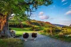 Två nyfikna sheeps betar på på solnedgången i sjöområdet, UK Arkivbild