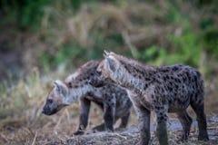 Två nyfikna unga prickiga hyenor Fotografering för Bildbyråer