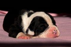 Två och en gammal engelsk bulldoggvalp för halv vecka Fotografering för Bildbyråer