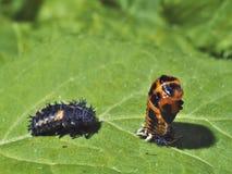 Två olika etapper av livcicle av nyckelpigan - larver och puppa Royaltyfri Fotografi