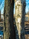 Två olika träd nästan Arkivbilder