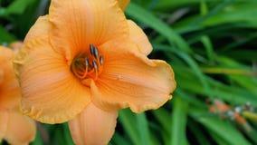 Två orange blomningar av artapelsinDag-liljan Taget i en blomsterrabatt från över Arkivfoto