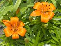 Två orange daylilies arkivbilder