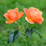 Två orange rosor i det Burnaby berget Arkivbilder