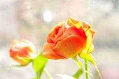 Två orange rosor på fönsterbrädan Royaltyfri Fotografi