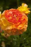 Två orange zinnias Fotografering för Bildbyråer