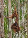 Två orangutang spenderar deras tid som hänger på träd i djungeln av Indonesien Fotografering för Bildbyråer