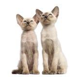 Två orientaliska Shorthair kattungar, 9 gammala veckor Arkivbilder