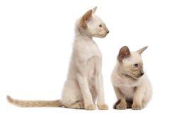 Två orientaliska Shorthair kattungar, 9 gammala veckor Fotografering för Bildbyråer