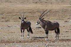 Två oryxantilop-/Gemsbokanseende i stäppen Arkivfoto