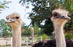 Två ostrichs Royaltyfria Bilder
