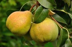 Två päron på trädet Royaltyfri Foto