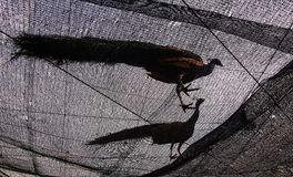 Två påfåglar på netto se upp arkivfoton