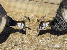 Två påfåglar som lutar ner slut som om för att tala om allvarligt matt Arkivbilder