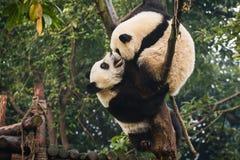 Två pandabjörngröngölingar som spelar på Chengdu forskning, baserar Kina royaltyfri fotografi