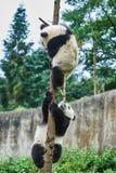 Två pandabjörngröngölingar som spelar Sichuan Kina Royaltyfria Bilder