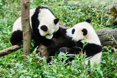 Två pandabjörngröngölingar som spelar Sichuan Kina Arkivfoton