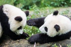 Två pandabjörngröngölingar som spelar Sichuan Kina Arkivfoto