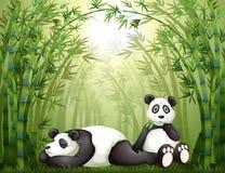 Två pandas i bambuskogen Arkivbilder