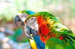 Två papegojor Arkivfoton