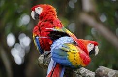 Två papegojor i den Malacca zoo arkivbild
