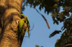 Två papegojor i en trädstam Royaltyfri Bild