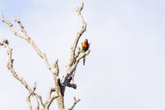 Två papegojor i ett dött träd Arkivbild