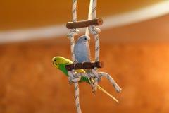 Två papegojor sitter på en pol i lägenheten arkivfoton