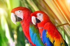 Två papegojor som är röda i tropiska skogfåglar royaltyfria foton