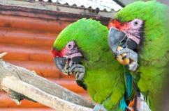 Två papegojor strider för en bagel Royaltyfria Bilder