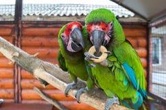 Två papegojor strider för en bagel Royaltyfri Fotografi