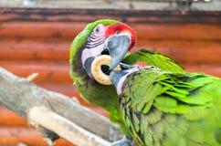 Två papegojor strider för en bagel Arkivbild